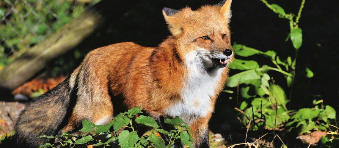 red-fox-4737937_1920